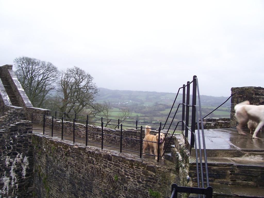 Dinefwr Castle dogs walking on ramparts walls