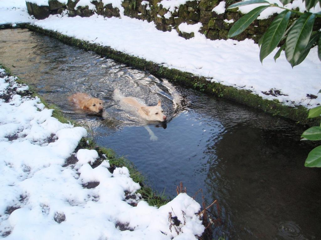 Jack and Sheeba Dogs swimming race in Craig y Nos Castle old Trout Trench in snow