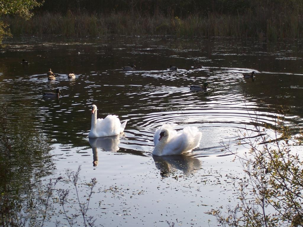 Dog Friendly Holidays  in Swansea Valley Wales Craig y Nos Country Park lake with two white swams