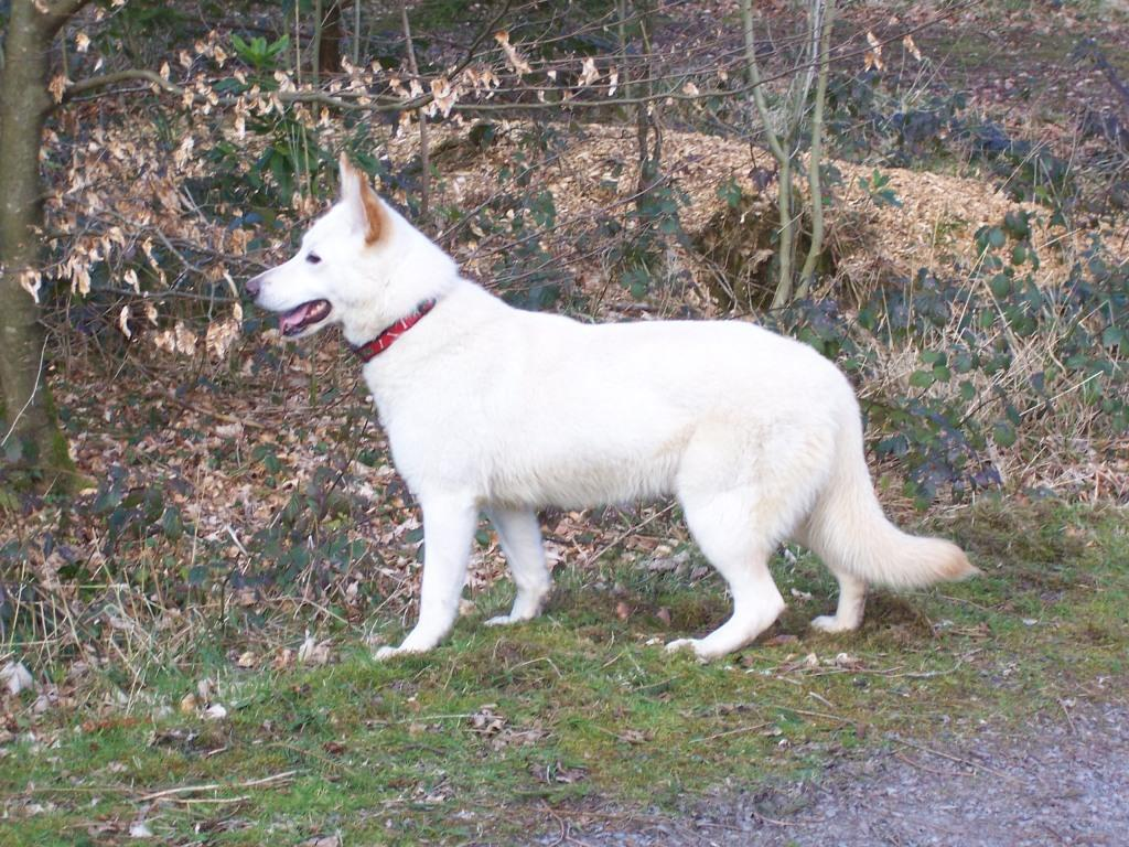 Dog Friendly Holidays  in Swansea Valley Wales Craig y Nos Country Park white alsatian Sheeba