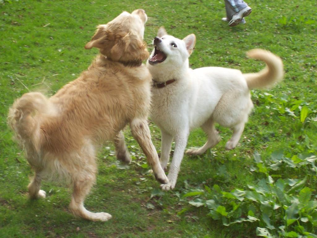 Dog Friendly Holidays Brecon Wales Jack and Sheeba dogs play-fighting in Craig y Nos Country Park