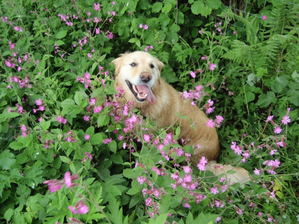 Dog Friendly Holidays in Wales Jack the dog in wild flowers at Craig y Nos Country Park