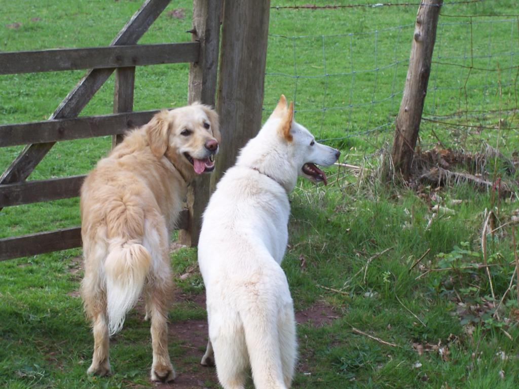 Dog Friendly Holidays Brecon Wales two dogs by gate in Craig y Nos Country Park