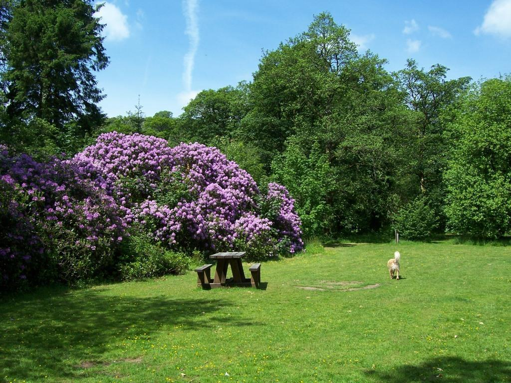 Dog Friendly Holidays Brecon Wales Craig y Nos Country Park dog beside rhododendron bush