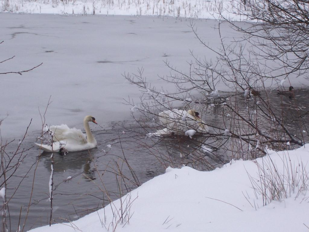 Dog Friendly Hotel Swansea Wales two cold white swans on ice covered lake in Craig y Nos Country Park in Winter Snow