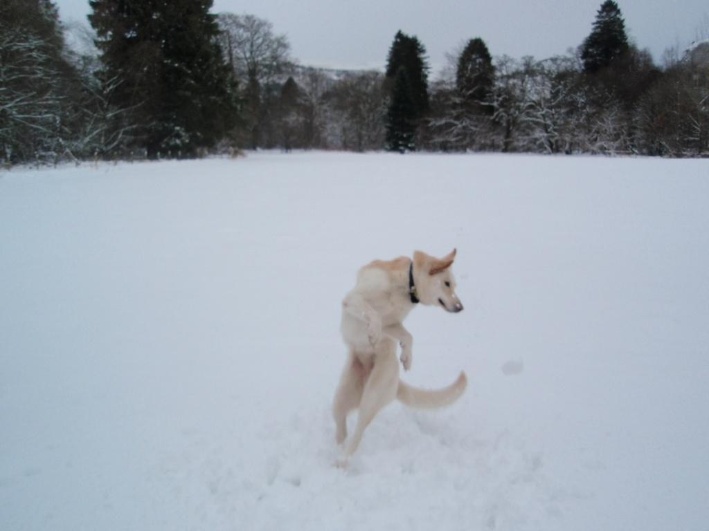 Dog Friendly Hotel Swansea Wales Craig y Nos Country Park sheeba the dog pirouette dance in Winter Snow