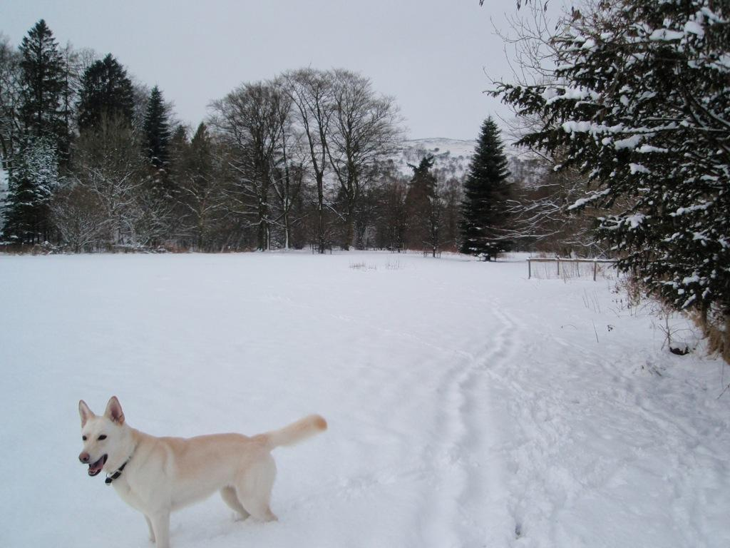Dog Friendly Hotel Swansea Wales Craig y Nos Country Park white alsatian dog in Winter Snow