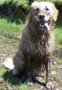 Dog Friendly B&B - Jack the Dog all muddy from rolling in some cow muck on Pennwyllt rail tracks path