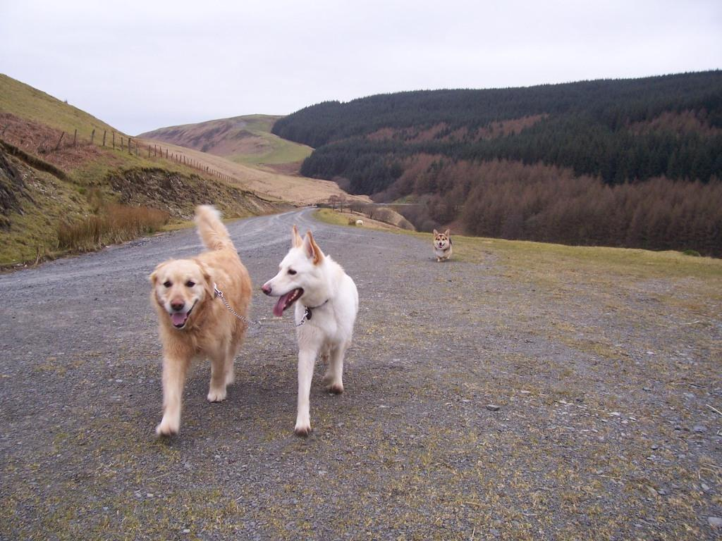Llyn Brianne Reservoir dogs walking joined on lead to prevent one chasing after sheep