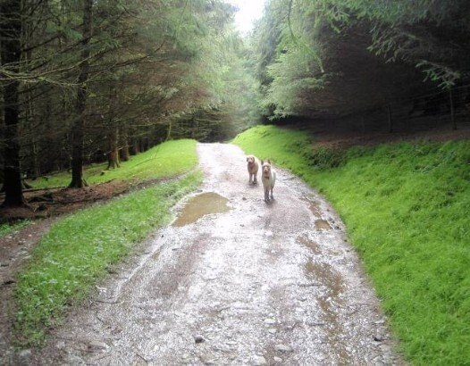 Dog friendly accommodation Wales - Llyn Brianne Reservoir wet dog walk path in deep forest